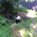 Pandasia (3)